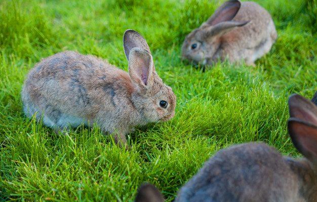 kaniner der græsser